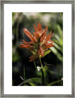 Scarlet Paintbrush Framed Print