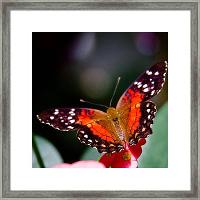 Scarlet Peacock Butterfly - Anartia Amathea Framed Print by David Patterson