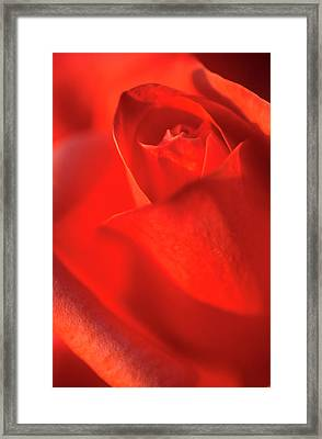 Scarlet Rose Abstract Framed Print by Nigel Downer