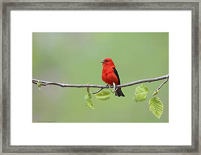 Scarlet Tanager Framed Print by Daniel Behm