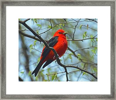 Scarlet Tanager In The Forest Framed Print by Rodney Campbell