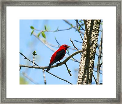 Scarlet Tanager Framed Print by James Hammen