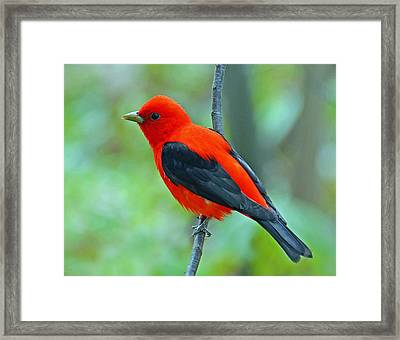 Scarlet Tanager Framed Print by Rodney Campbell