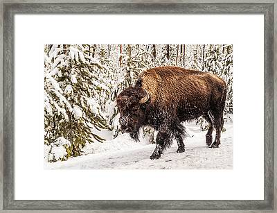 Scary Bison Framed Print by Sue Smith