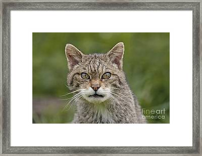 Scary Scottish Wildcat Framed Print