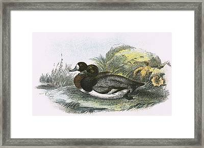 Scaup Duck Framed Print by English School