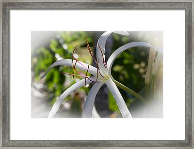 Spider Lilly Flower Framed Print