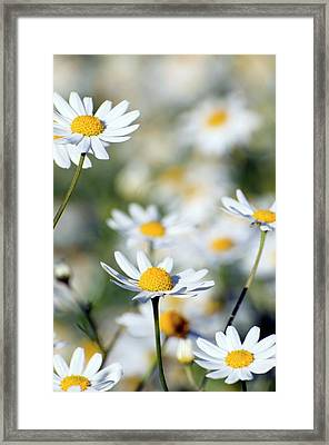 Scentless Mayweed (matricaria Maritima) Framed Print by Dr. John Brackenbury/science Photo Library