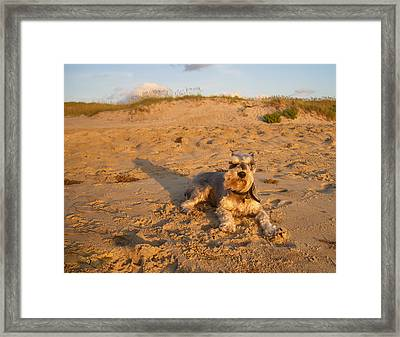 Schnauzer At Dawn Framed Print by Stacy Abbott