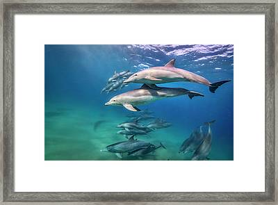 School Of Bottlenose Dolphins Tursiops Framed Print by Peter Pinnock