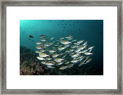 School Of Fish In The Maldives Framed Print