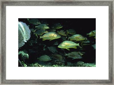 School Of Fish Framed Print by Retro Images Archive