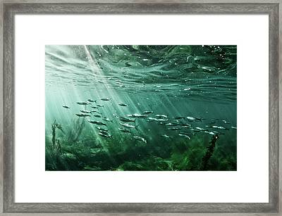 School Of Fish Swim In The Pacific Ocean Framed Print by Ashleywiley