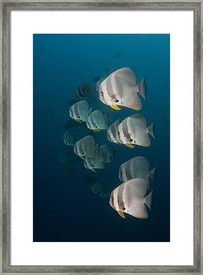 School Of Longfin Spadefish Framed Print by Science Photo Library
