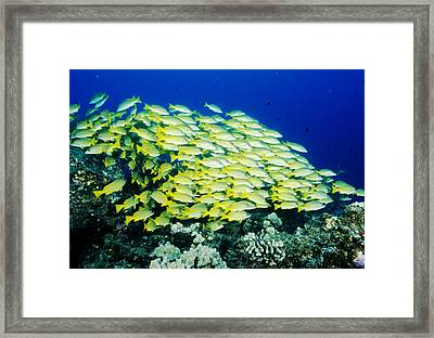 School Of Snappers, Hawaii Framed Print by Andrew G. Wood