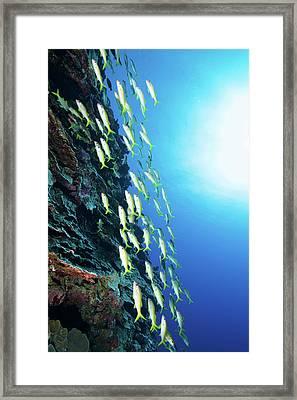 School Of Yellow Goatfish, Yap Framed Print