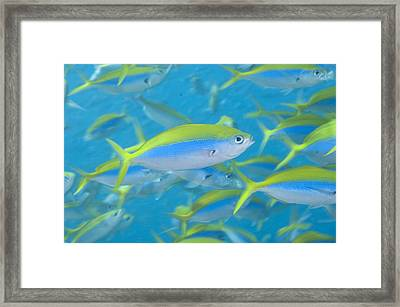 School Of Yellowback Fusilier Framed Print