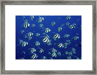 Schooling Bannerfish, Raja Ampat Framed Print