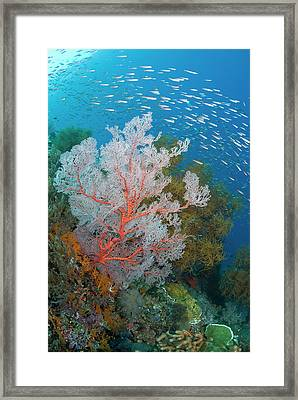 Schooling Fish And Coral Reef, Raja Framed Print