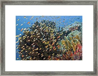 Schooling Fish Swim Past Reef Corals Framed Print