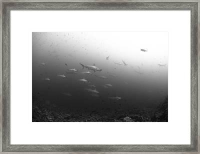 Schooling Hammerheads Framed Print by David Valencia