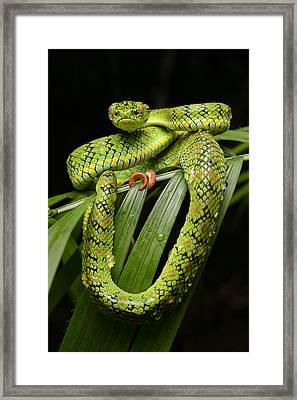 Schultz Pit Viper Palawan Isl Framed Print by Ch'ien Lee