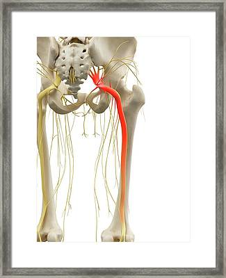 Sciatic Nerve Framed Print by Sciepro