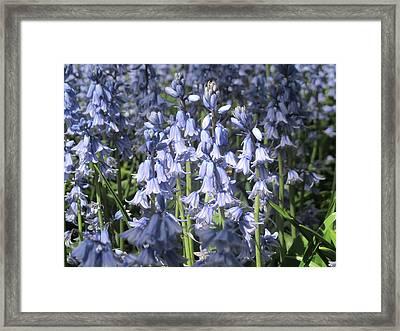 Scillia In Springtime Framed Print by Stephanie Francis