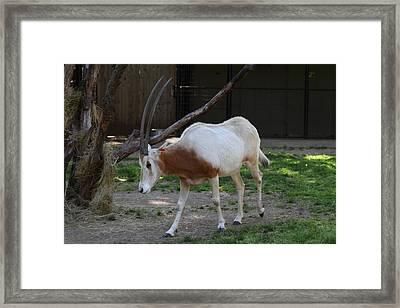 Scimitar Horned Oryz - National Zoo - 01132 Framed Print by DC Photographer