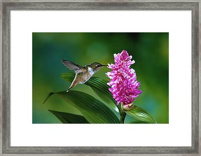Scintillant Hummingbird Selasphorus Framed Print by Michael and Patricia Fogden