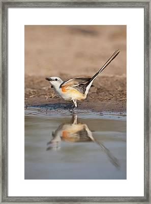 Scissor-tailed Flycatcher (tyrannus Framed Print by Larry Ditto