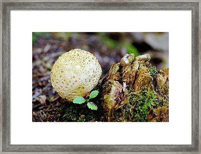 Scleroderma Citrinum Mushroom Framed Print