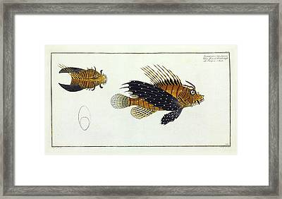 Scorpaena Volitans (pterois Volitans) Framed Print by Natural History Museum, London