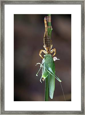 Scorpion Feeding On A Katydid Framed Print
