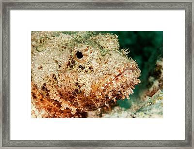 Scorpionfish Portrait, Bonaire, N Framed Print by James White