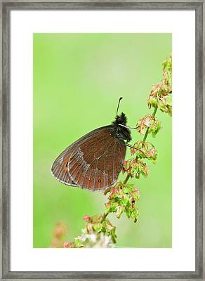 Scotch Argus Butterfly On A Dock Plant Framed Print