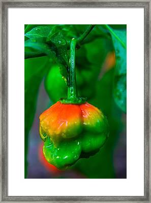 Scotch Bonnet  Framed Print by Kenroy Rhoden