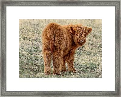 Scotch Highland Calf Framed Print