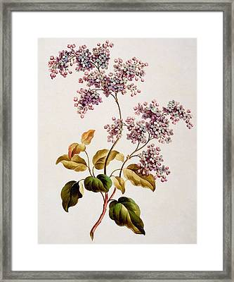 Scotch Lilac, Published 1793 Framed Print