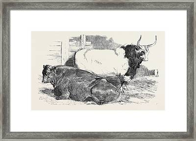Scotch Polled, Class 1, First Prize, 10 Pure Italian Bull Framed Print