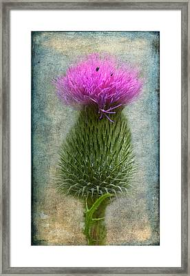 Scotch Thistle Framed Print