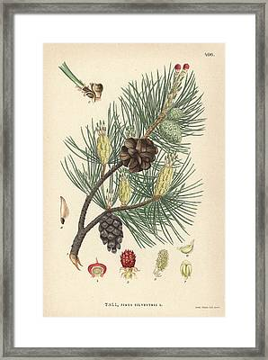 Scots Pine Framed Print by Florilegius/natural History Museum, London