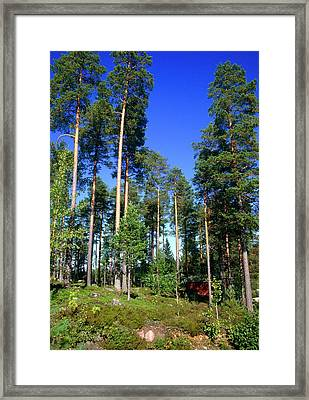 Scots Pine Forest Framed Print by Andrew Brown/science Photo Library