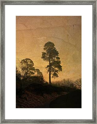 Scots Pine Framed Print by Liz  Alderdice