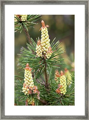 Scots Pine (pinus Sylvestris) In Flower Framed Print