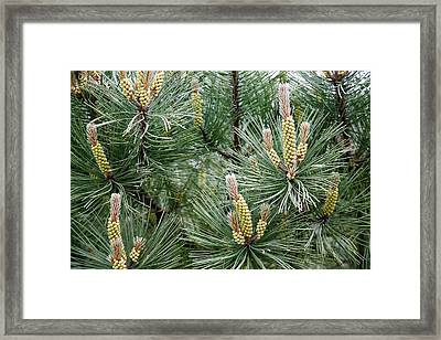 Scots Pine (pinus Sylvestris) Male Cones Framed Print by Dr Keith Wheeler