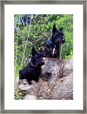 Scotties Framed Print
