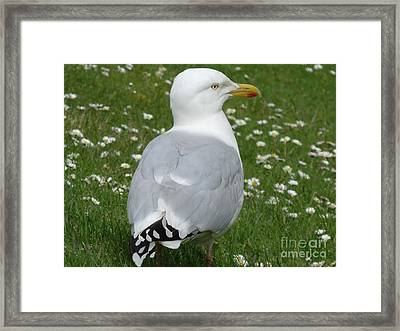 Scottish Gull Framed Print by Deborah Smolinske