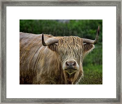 Scottish Highland Cattle Framed Print