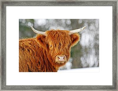 Scottish Highland Cow Framed Print by Michael Allen